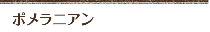 ポメラニアン ウルフセーブル (ドンパパ×お市ママ) 四男