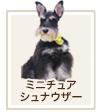 ミニチュア・シュナウザー