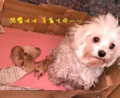 Mix犬 マルチーズ×トイプードル 仔犬