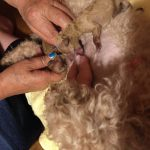 犬の出産 介助 授乳