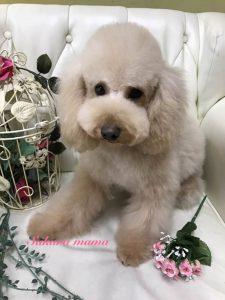 トイプードル ママ犬