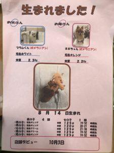 ポメラニアン 自家繁殖 仔犬販売