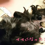 ポメラニアン 出産 ブラック 仔犬