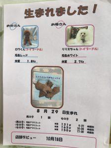 トイプードル 仔犬販売 アプリコット
