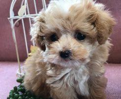 ミックス犬 プーマル 男の子 極小サイズ