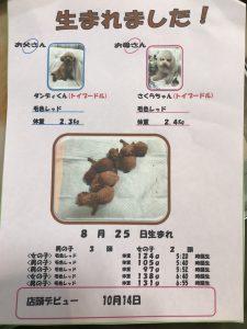 自家繁殖 トイプードル 仔犬販売