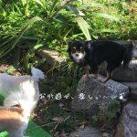 チワワ ブラック&タン ママ犬