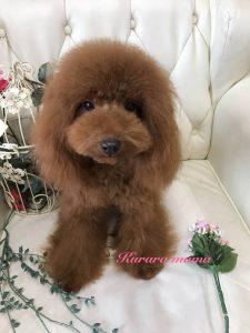 トイプードル レッド ママ犬