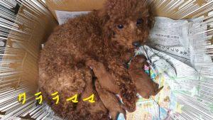 トイプードル クララの子 犬の出産