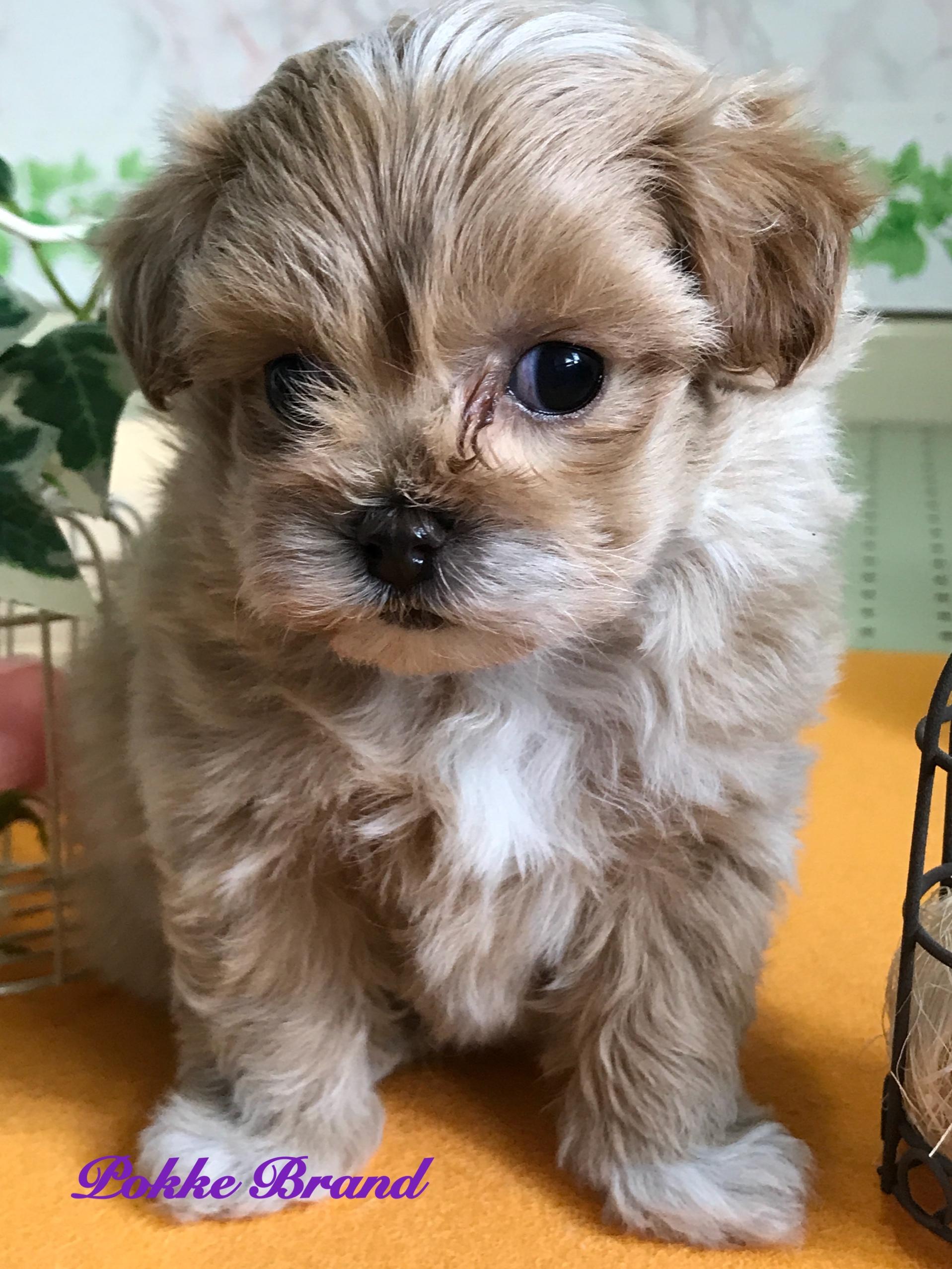 ミックス犬 プーマル 女の子