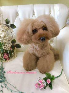 トイプードル 女の子 レッド ママ犬