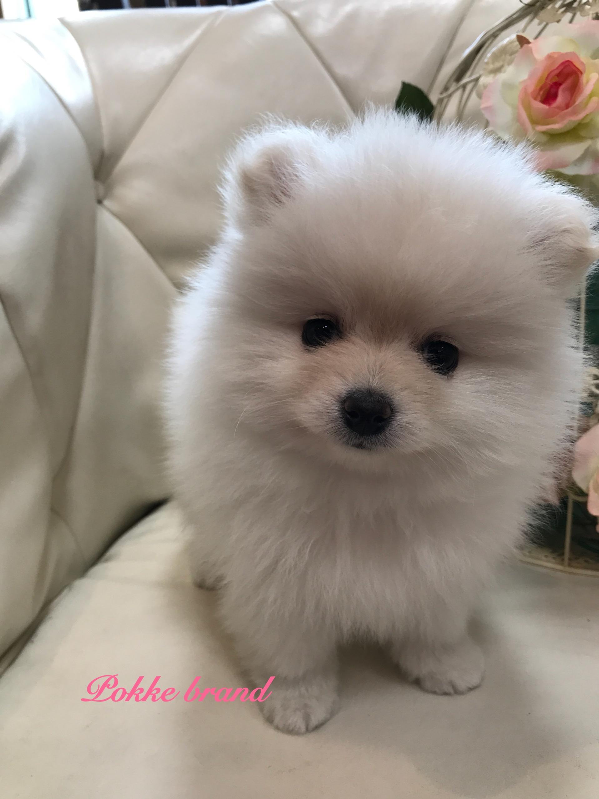 ポメラニアン 女の子 仔犬 ホワイト