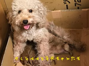 仔犬販売 トイプードル 自家繁殖