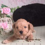 トイプードル アプリコット 女の子 子犬