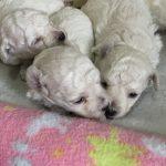 トイプードル ホワイト 兄弟 子犬