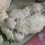 トイプードル ホワイト 子犬