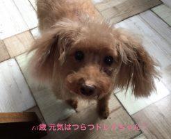 トイプードル シニア犬 レッド
