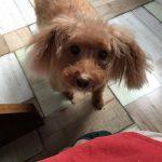 トイプードル シニア犬 15歳