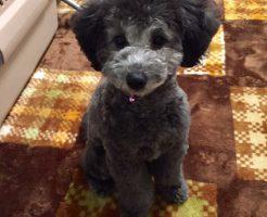 トイプードル シルバー 子犬