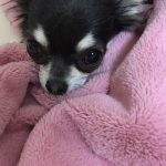 チワワ 出産 ママ犬