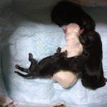 チワワ 出産 赤ちゃん