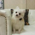ポメラニアン ホワイト パパ犬