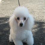トイプードル ママ犬 ホワイト
