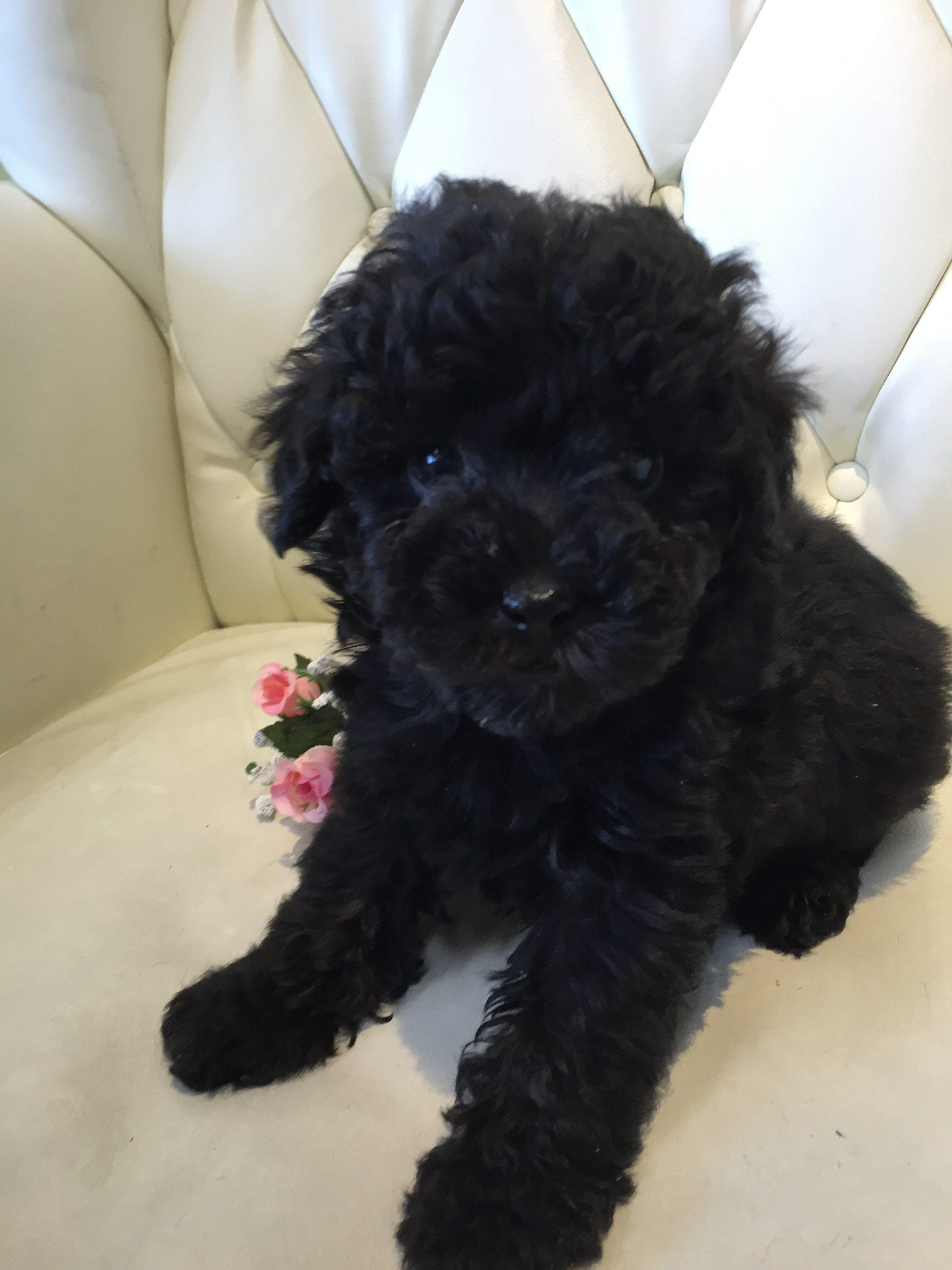 トイプードル ブラック 子犬