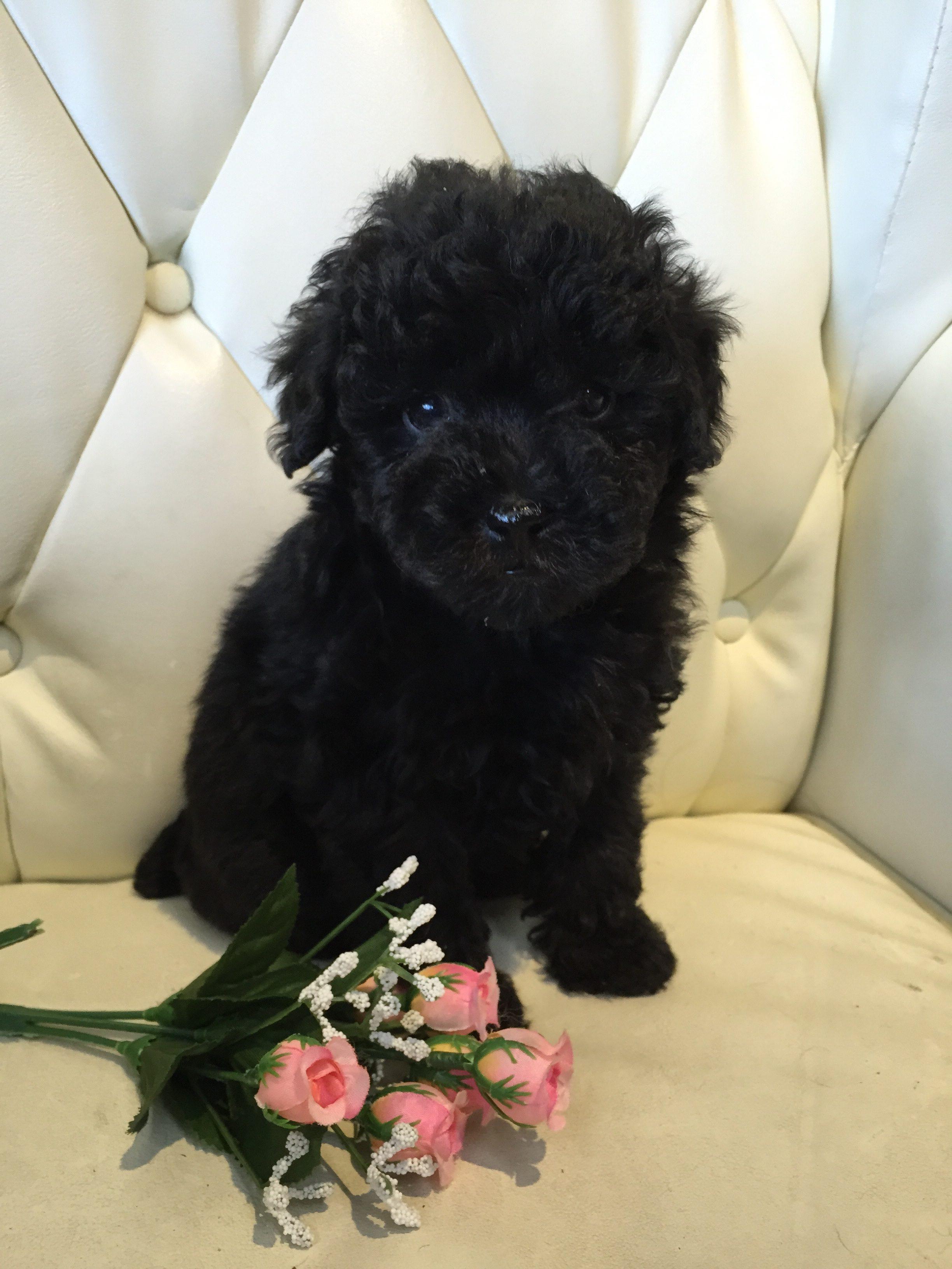 トイプードル 子犬 ブラック 女の子