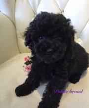 トイプードル ブラック 女の子 子犬