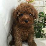 トイプードル 自家繁殖 レッド 子犬