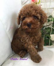 トイプードル 男の子 レッド 自家繁殖 子犬