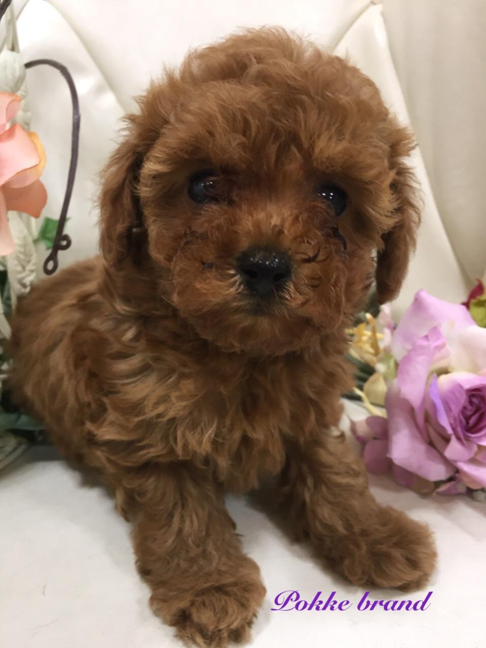 トイプードル 自家繁殖 話のツボ レッド 子犬販売