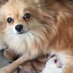 ポメラニアン ブリーダー 仔犬