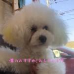 トイプードル ホワイト 看板犬
