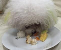 トイプードル ホワイト