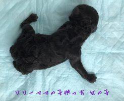 トイプードル シルバー 女の子 子犬販売