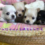 チワワ 子犬販売 自家繁殖