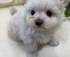 ミックス犬 マルポメ 男の子