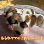 ミックス犬 マルシー マルチーズ シーズー 自家繁殖 仔犬販売