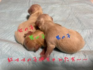 チワワ クリーム 仔犬販売 自家繁殖