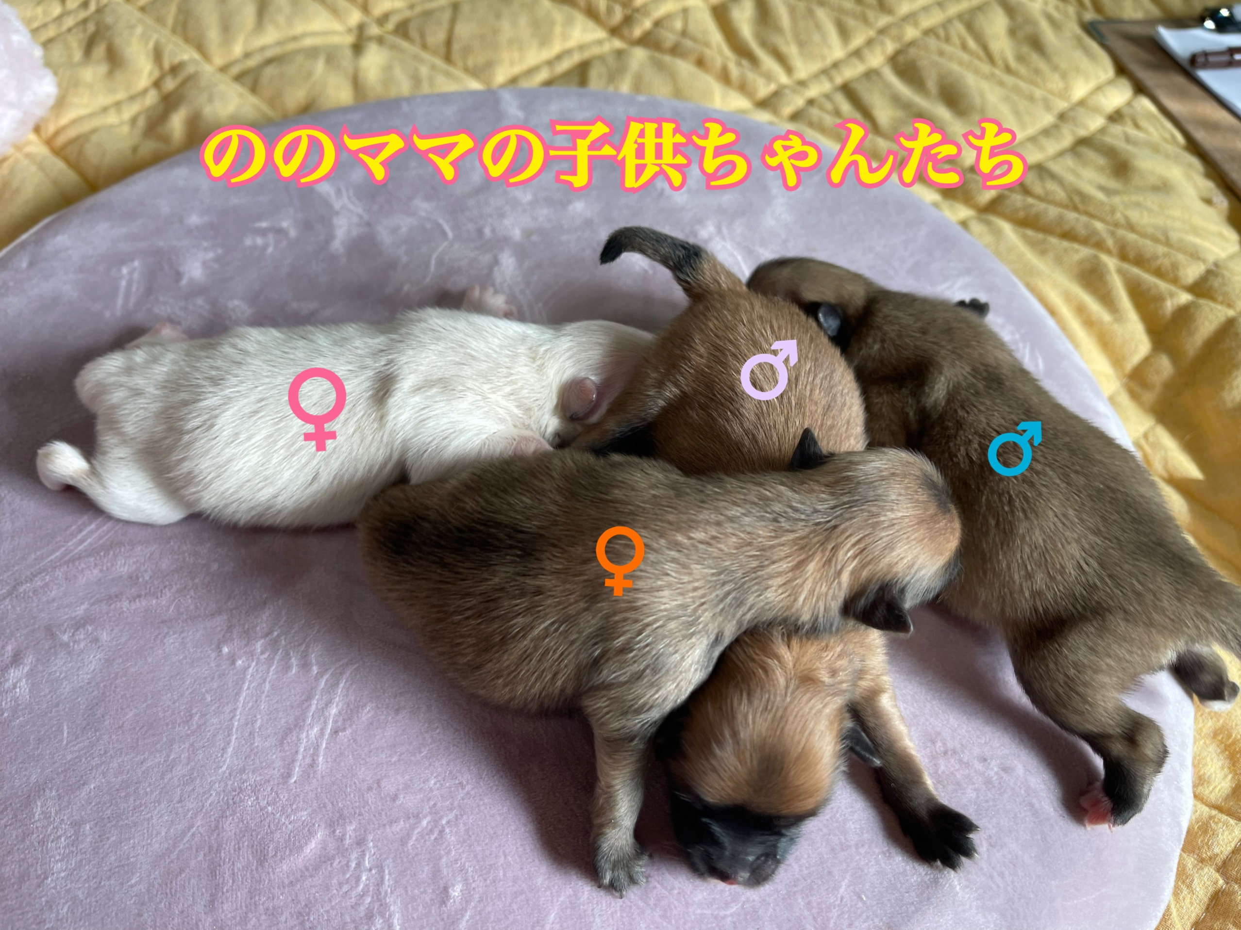 ポメラニアン 自家繁殖 仔犬