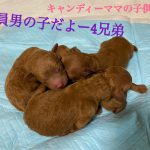 トイプードル レッド 仔犬販売 仔犬 自家繁殖