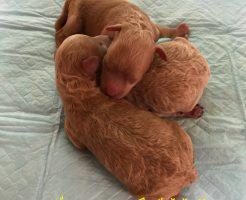 トイプードル 仔犬販売 自家繁殖