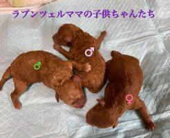 レッド 仔犬販売 自家繁殖専門