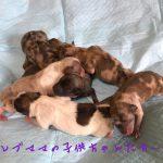ポメラニアン チョコマーブル 仔犬販売