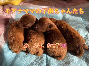 トイプードル レッド 女の子 仔犬姉妹