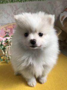ポメラニアン 仔犬販売 自家繁殖