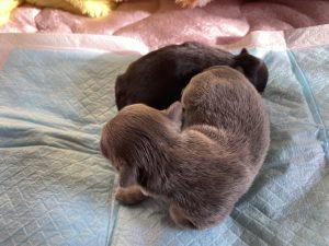 チワワ イザベラ ブラック&タン 仔犬