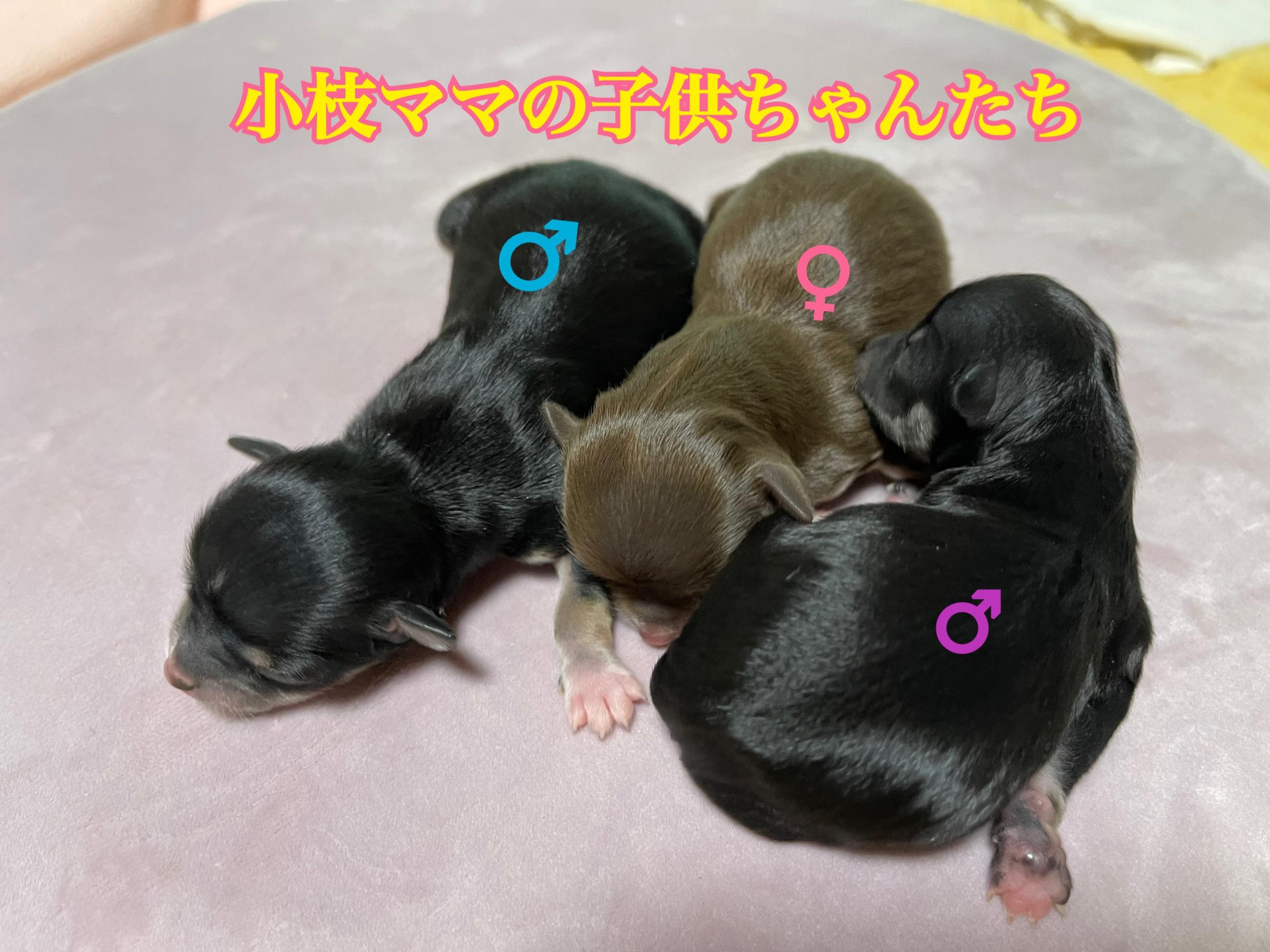 チワワ 自家繁殖 仔犬 チョコレート&タン